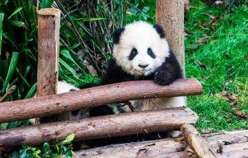 Panda Base and Leshan Giant Buddha Private Day Tour