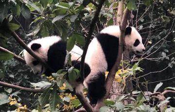 Panda Base and Sanxingdui Museum Private Day Tour